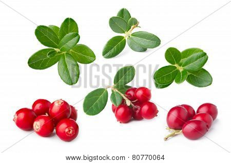 Cowberry Isolated