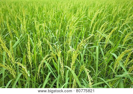 Rice Field in final stage