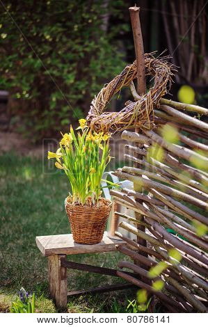 yellow narcissus in pot, osier wicker fence in early spring garden