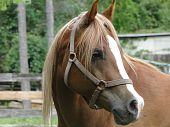 The profile of a chestnut Arabian horse with a bit white blaze poster