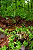 A Pickerel Frog (Rana palustris) surveys the forest floor at Monte Sano State Park, Alabama. poster