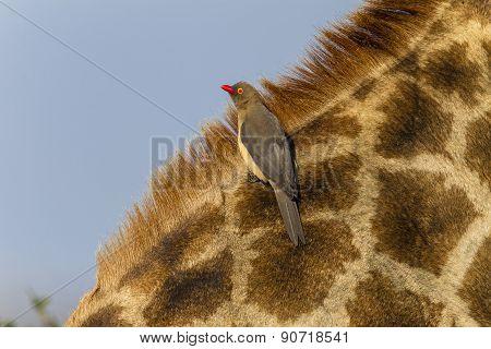 Giraffe Birds Wildlife
