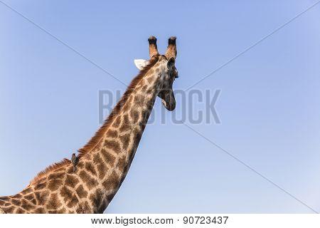Giraffe Bird Relationship