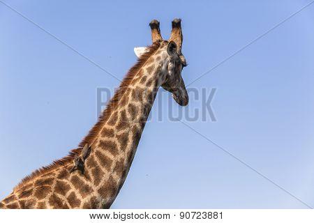 Giraffe Birds Blue Ride