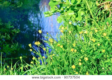 Yellow Flowers Ranunculus,on The Shore Of The Lake.