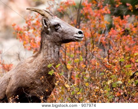 Bighorn Sheep In Fall Colors