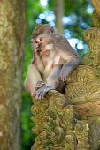 The long-tailed macaque (Macaca fascicularis) aka the crab-eating macaque, the cynomolgus monkey and the Philippine monkey, photographed at the Bukit Sari Temple in the Holy Monkey Forest of Sangeh in Bali. poster