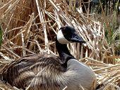 closeup of nesting canada goose poster