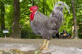 Hungarian speckled rooster (Gallus domesticus) in a forest poster