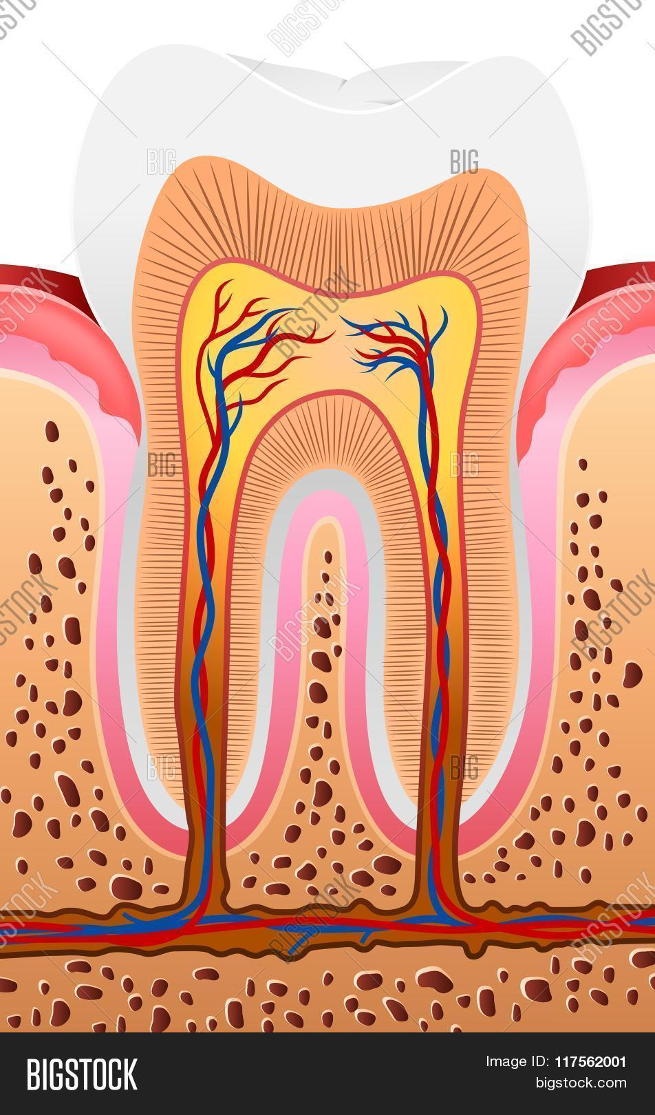 Human Tooth Structure Vector & Photo (Free Trial) | Bigstock