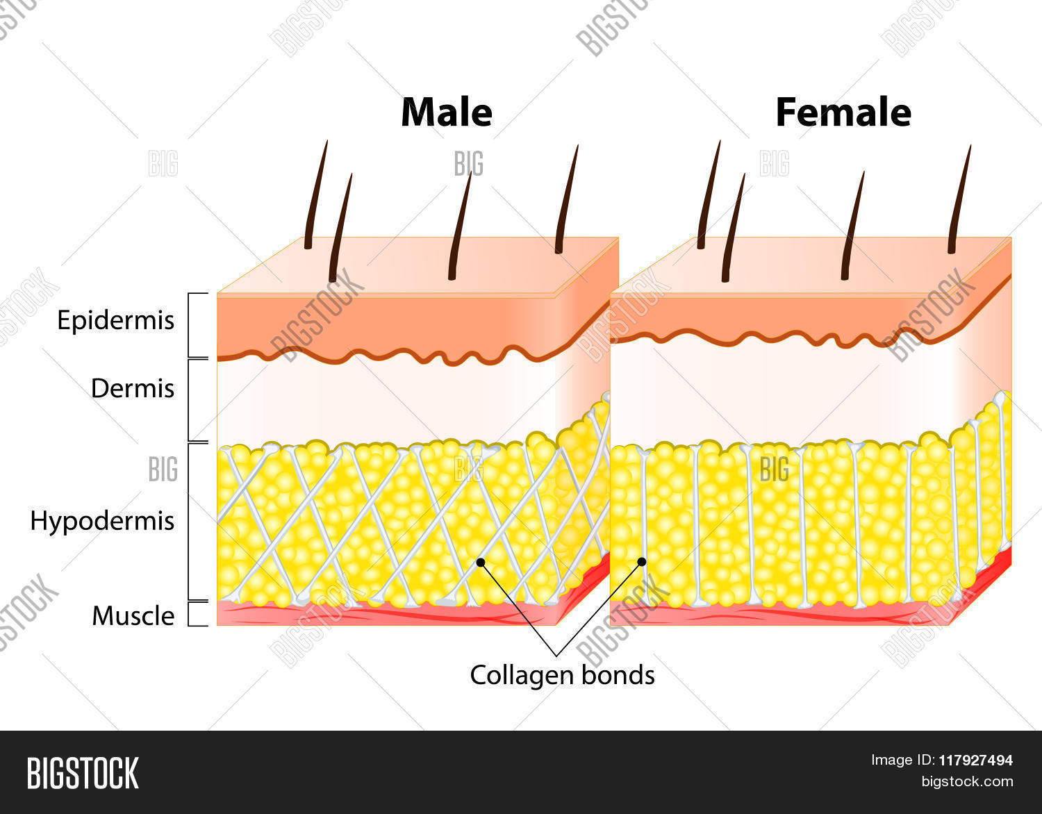 Male end female skin structure vector photo bigstock male end female skin structure and different pooptronica