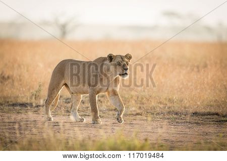 One African Lioness Hunting In The Serengeti, Tanzania