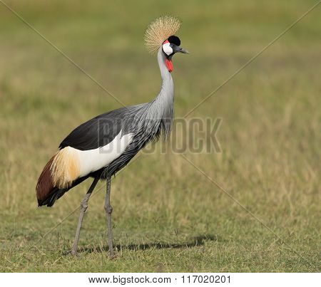 Grey Crowned Crane In Amboseli National Park In Kenya
