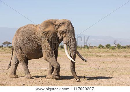 Large Bull Elephant In Amboseli, Kenya