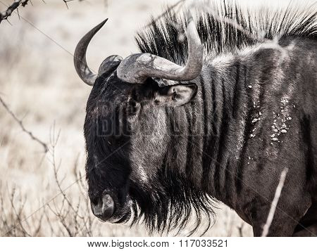 Wildebeest gnu profile