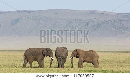 Three Bull Elephants In The Ngorongoro Crater, Tanzania