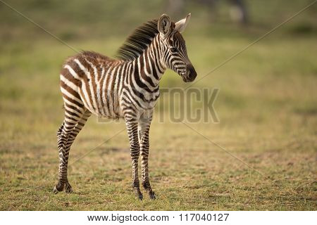 A Baby Plains Zebra In Amboseli, Kenya