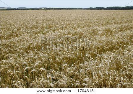 A Farm Field Golden Ripe Wheat Slumped Under The Weight Of Ears