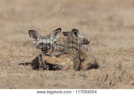 Bat Eared Foxes In The Serengeti, Tanzania