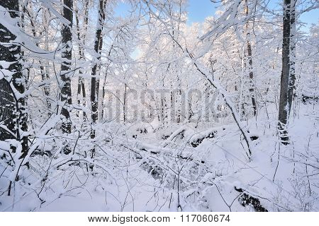 Winter Wonderland In A Deciduous Forest