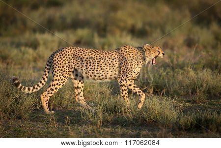 Male Cheetah Yawning As It Walks In The Serengeti National Park, Tanzania