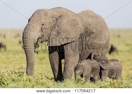 Adult Female Elephant Feeding With Her Twin Babies, Serengeti, Tanzania