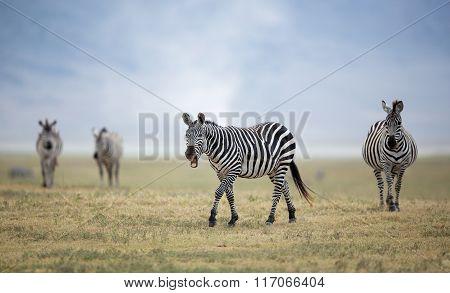 Adult Plains Zebra In The Ngorongoro Crater, Tanzania