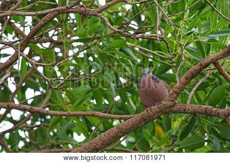 A Spotted dove (Spotted turtle dove) pigeon with black and white spots on collar sitting on a branch of Caribbean trumpet tree