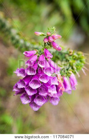 Close-up of Digitalis purpurea (Common Foxglove) flowers