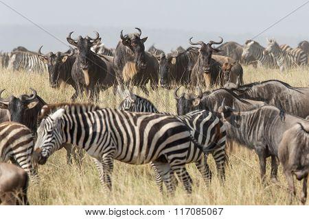 Migration Herd Of Wildebeest And Zebra In The Serengeti, Tanzania