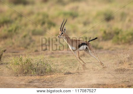 Male Thompson's Gazelle Running In Amboseli National Park, Kenya
