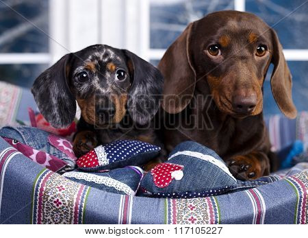 dachshund chocolate  dog and puppy marble Harlequin