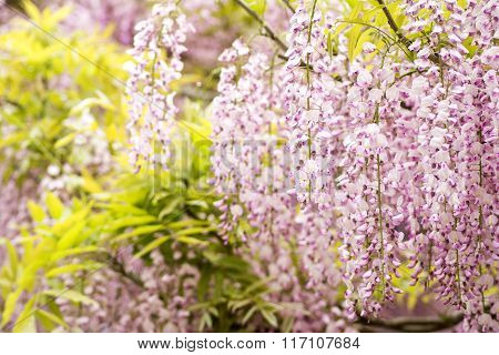 Red purple wisteria flowers