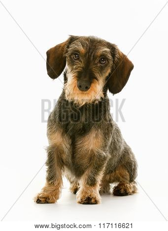 Wirehaired Dachshund Dog Puppy