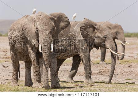 Three Adult African Elephants In Amboseli, Kenya