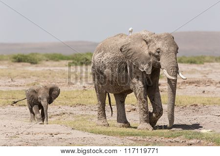Baby African Elephant Following Its Mother In Amboseli, Kenya