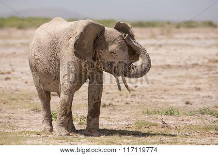 African, Elephant, Amboseli, Kenya