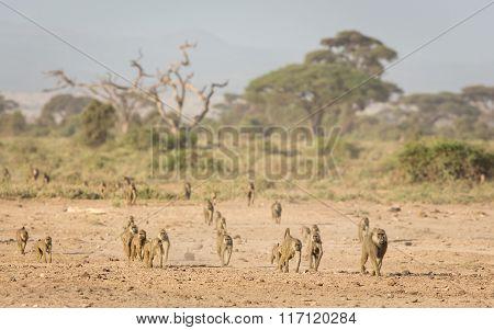 Troop Of Olive Baboons In Amboseli, Kenya