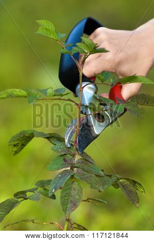 Pruning Garden Rose Branch With Secateurs