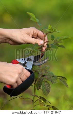 Pruning Rose By Garden Pruner