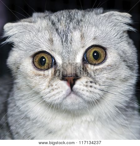 Amusing Kitten Scottish