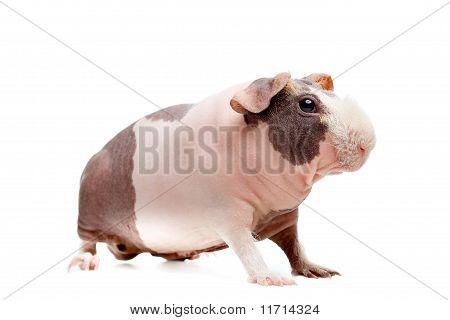 Curious Bald Guinea Pig