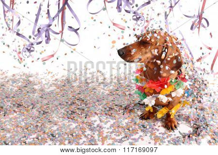 Dachshund at Carnival salon with confetti falling on its head.