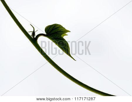 Creeper bud on white background