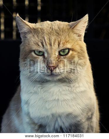 Beautiful Red Cat  Looking At Camera Outdoors