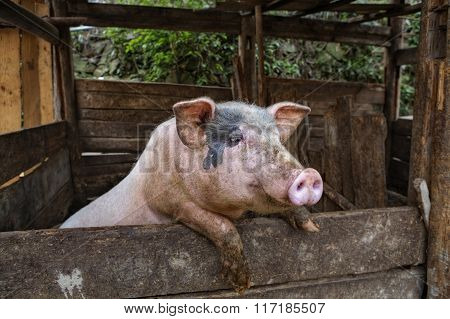 Dirty Domestic Pig Standing On Hind Legs, Leaning On Fence.
