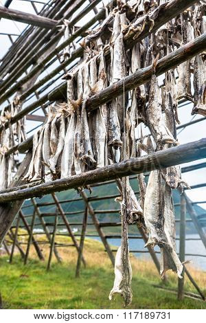 Codfish Hanging In Norway
