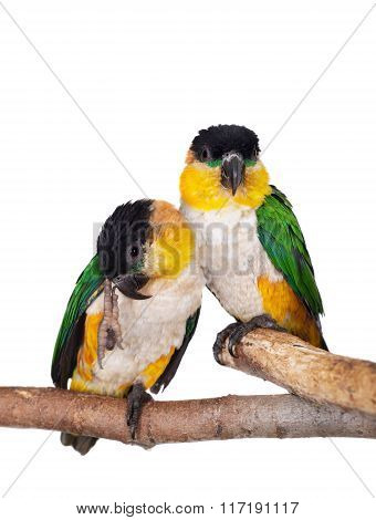The black-headed caique, Pionites melanocephalus, on white