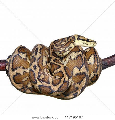Jungle carpet python, Morelia spilota variegata on white