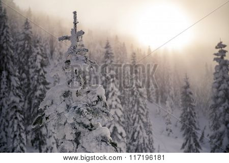 Snow Covered Tree Tops with Hazy Sunset in Mountain Forest